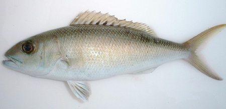 アオチビキ - 宮崎の魚